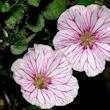 Erodium reichardii, endemisme de penyals