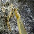 Metamorfosi. Lestes viridis