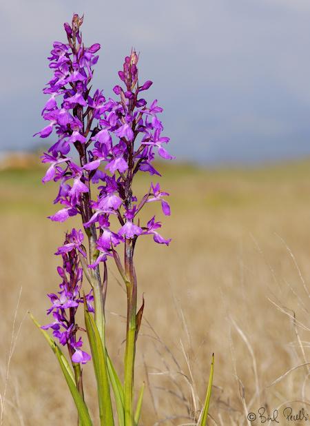 Naixeran les orquídies a Son Bosc ?