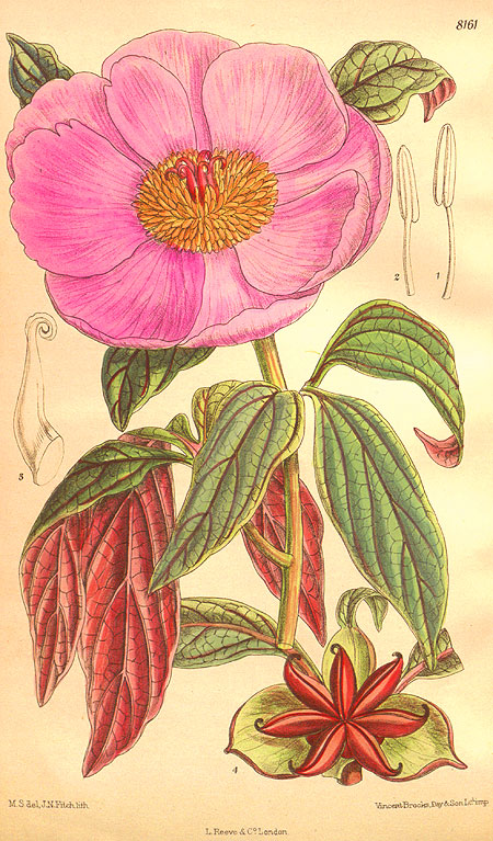 Paeonia cambessedesiii