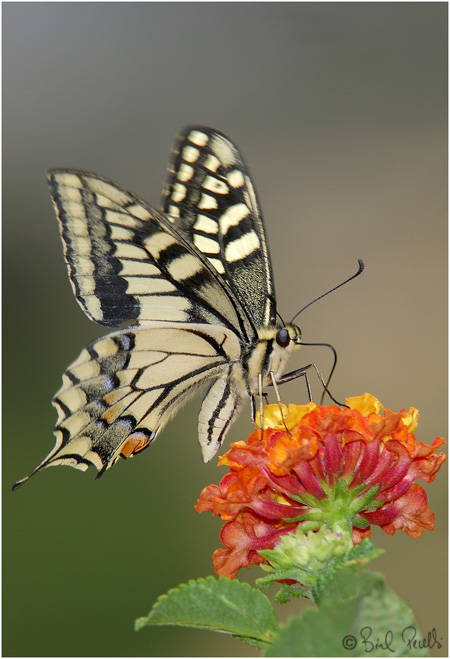 Papilio machaon biginerata. © Biel Perelló